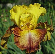 Schwertlilie Pflanze,Schwertlilie