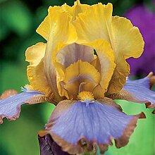 Schwertlilie Pflanze,Schwertlilien Winterhart