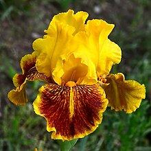 Schwertlilie,Schwertlilie Pflanze,Elegant,Sehr