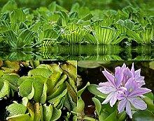 Schwimmpflanzensortiment Teichpflanzen Teichpflanze Schwimmpflanzen