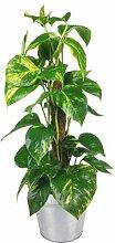 Scindapsus Zimmerpflanze inklusive Zink-Übertopf