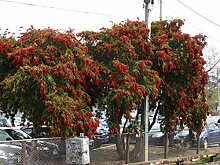 ScoutSeed Crimson Bottlebrush (Callistemon