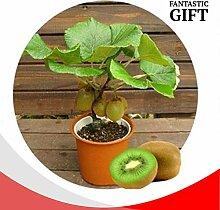 ScoutSeed Kiwi Zwerg Baum Samen Mini Bonsai
