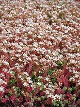 Sedum hispanicum, 24 Pflanzen im 5/6 cm Topf