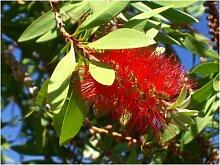 Seedeo Australischer Lampenputzer (Callistemon