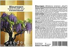 Seedeo® Blauregen Wisteria sinensis blue Bonsai 8