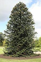 Seedeo Chilenische Andentanne (Araucaria Araucana)