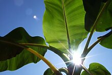 Seedeo Darjeeling-Banane (Musa sikkimensis) 10
