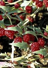 Seedeo Erdbeerspinat, ähriger (Cheniopodium capitatum) 300 Samen