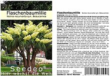 Seedeo® Flaschenbaumlilie - Elefantenfuß