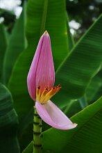 Seedeo Kenia - Banane (Musa velutina) 6 Samen