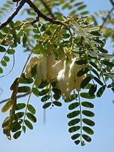 Seedeo Turibaum / Kolibribaum Sesbania Grandiflora