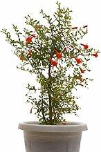 Seedeo® Zwerg Granatapfel (Punica granatum Nana)
