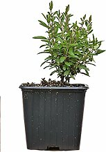 Seedeo® Zwerg-Granatapfel (Punica granatum Nana)