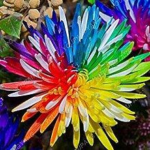 seedsown 100Pcs Chrysanthemum Samen In Bonsai