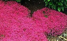 seedsown 200 Creeping Thyme Samen Blumensamen Rock