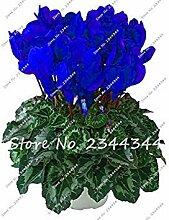 seedsown 200 PC/Beutel Cyclamen Blau Blumensamen