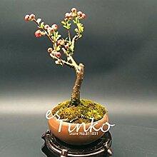 seedsown 20Pcs Begonia Flowre Samen Red Begonia