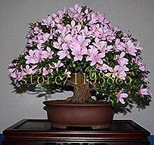 seedsown 20Pcs / Tasche Japanische Azalee Samen,