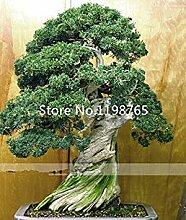 seedsown 50Pcs Bonsai-Baum-Samen Topfblumen Büro