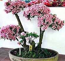 seedsown Beförderung! 20Pcs japanischen Sakura