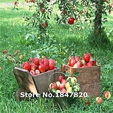 seedsown Bonsai Apfelbaum-Samen 50 PC Apple-Samen