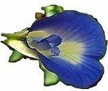 seedsown Clitoria ternatea, Blauer Schmetterling