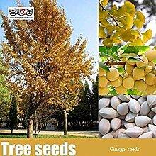 seedsown Ginkgo Biloba Baum Samen Bonsai Frische