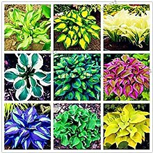 seedsown Keimfutter: 1: 200Pcs Hosta Fragrant