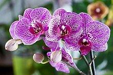 seedsown Keimfutter: Bonsai Samen Phalaenopsis