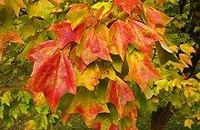 seedsown Keimfutter: Dreispitz-Ahorn, Trident Baum