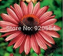 seedsown Keimfutter: Echinacea purpurea, Sonnenhut