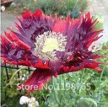 seedsown Lilienzwiebeln Wahre Birnen Pflanze Lily