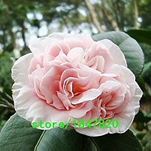 seedsown Rare Hellrosa Camellia Samen Topfpflanzen