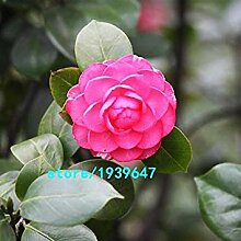 seedsown . Rose Red Camellia Samen Topfpflanzen