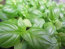 seedsown Samen Keimung: Basilikum-Samen, Kuchen