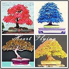 seedsown Samen Keimung: Violett: 50 Stück Maple