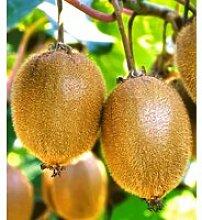 Selbstfruchtende, großfruchtige Kiwi