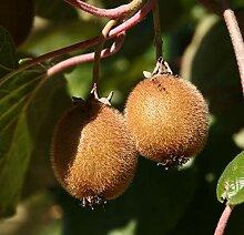 selbstfruchtende Kiwi Jenny Kiwibaum 60-100 cm
