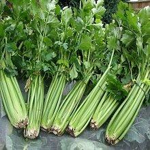 Sellerie Utah Gemüsesamen (Apium graveolens) 200