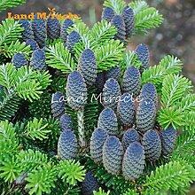 Selten blaue koreanische Tanne CEDAR Baumsamen, 10 Samen / Pack, krankheitsresistente Baum Silbertanne robuste Pflanze Staude