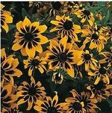Selten Blume, 50pcs / lot Rudbeckia hirta