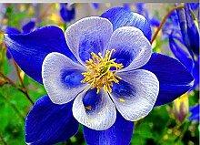Seltene Akelei Columbine blau mehrjährig