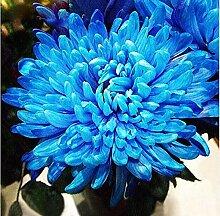 Seltene Blaue Chrysantheme Samen Schöne
