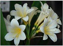 Seltene Clivia Samen im Freien Perennial Bonsai