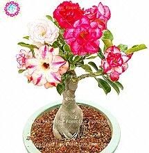 Seltene Doppel Petals Desert Rose Samen, Adenium