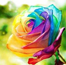Seltene Einhornrose / Regenbogen Rose – (ca. 50 Samen )
