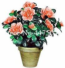 Seltene Farbe Japanische Azalee Bonsai,