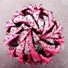Seltene Schlange Aloe Vera Seed 30 Stück Rare Form Aloe Vera Pflanze Kräuter Sukkulente Samen Bonsai-Qualitäts-Anlage für Balkon & Garten 1