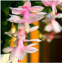 Seltene Schlumbergera Seed Regenbogen Balkon Bonsai Blume Schlumbergera Zygocactus Truncatus Zierpflanze leicht anzubauen 120 PC 12